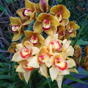 Orchideen gelb-rot