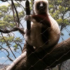 Lemur sitzend auf Baum