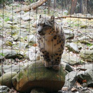 Gepard stehend auf Stein vor Gitter