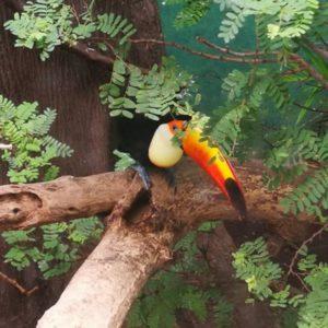 Tucan im Baum versteckt