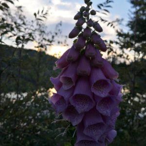 Violette Kelchblueten im Vordergrund waehrend Abendstimmung. Im Hintergrund unscharf Baeume und blauer Himmel mit Wolkengebilde