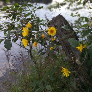 Gelbe Blumen am Rand vom Windgfaellweiher