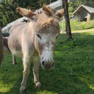 Hellbraunes Mini Eseli von vorne auf Wiese freilaufend, im Hintergrund Teil der Rodelbahn