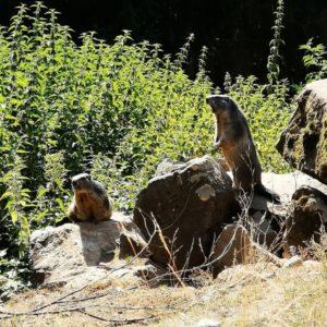 Zwei Mumeltiere auf Steinen stehend, eines davon am Gefahr melden