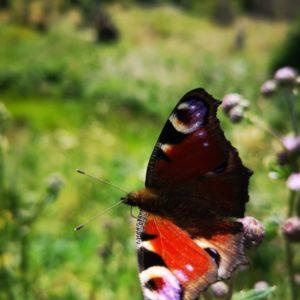 Schmetterling Pfauenauge auf Blume, Hintergrund Wiese auf unscharf fotografiert