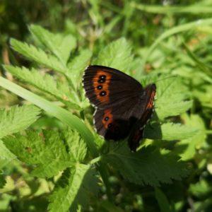 Schmetterling braun-rot geöffnet auf Pflanze sitzend