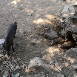 Wildschweinmama mit kleinen Frischlingen gestreift in Hoehle liegend