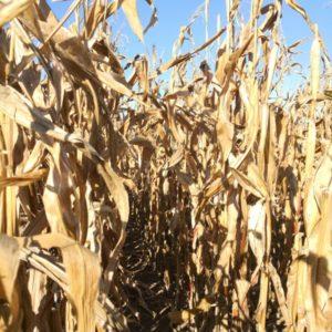 Blick ins Maisfeld, Maisstengel verdoerrt